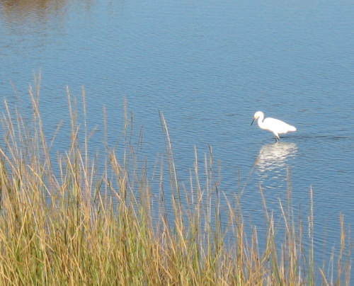 Egret at Big Lagoon